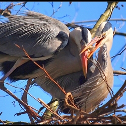 Nest (wan) gedrag