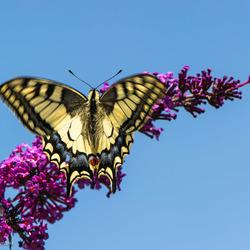 vlinderstruik met Koninginnenpage.