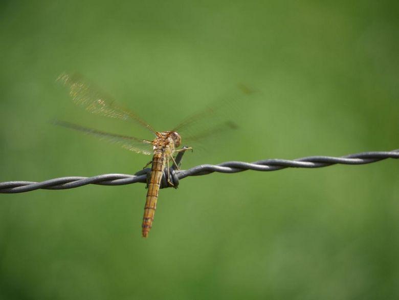 Vliegenier - Libelle die net zijn vleugels uitslaat