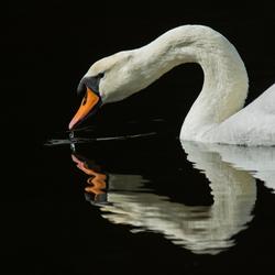 portretje van een zwaan