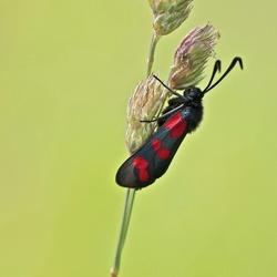 st.Jansvlinder