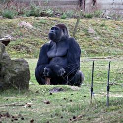 Gorilla Beekse Bergen