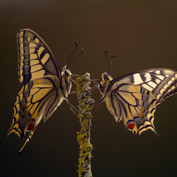 Koninginnenpage, papilio machaon 3