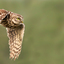 Vliegende steenuil