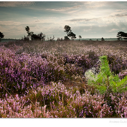 Heathland sunrise
