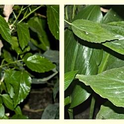 Bloeiende planten met hier en daar de passiebloemvlinder Heliconius sara theudela.