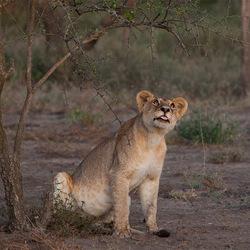 Leeuw met vreemde blik.....