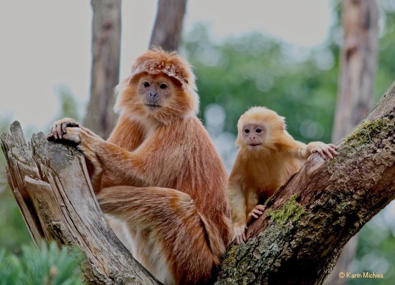 Nieuwsgierige aapjes - Tijdens een rondleiding kwamen we op terrein waar normaal geen bezoekers komen, deze apen vonden dit wel heel interessant