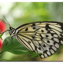 Zwartwitte glas-in-lood-vlinder
