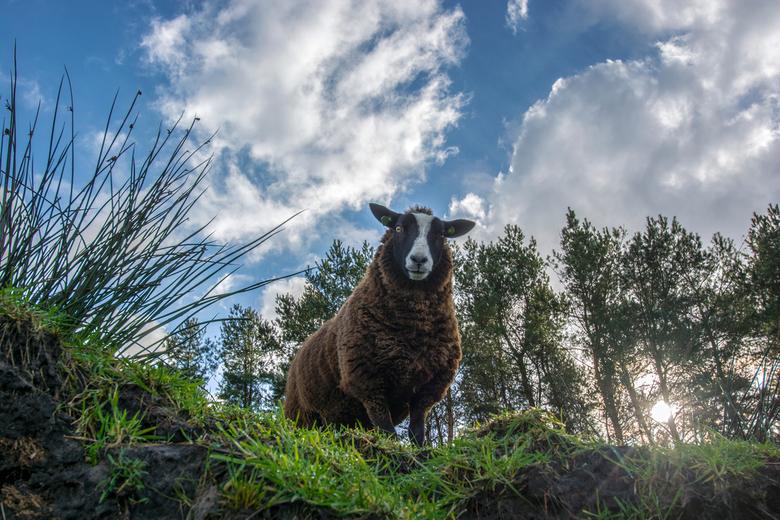 Bheeeehhhhhh - Nationaal Dwingelderveld: Daar waar koeien grazen, waar je ijvogels en herten tegenkomt maar ook waar je schapen tegenkomt. Schapen oge