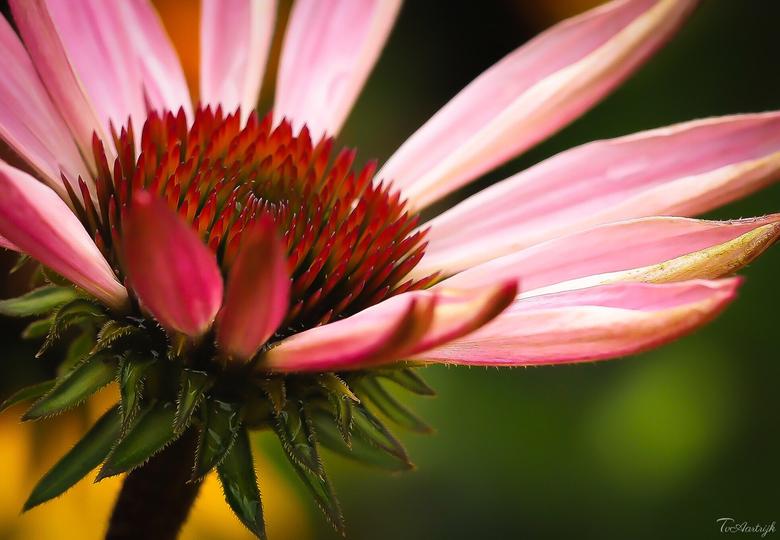 Zonnehoed. - Gisteren avond eerst is even lekker de bloemetjes en plantjes verwend met wat water. Het is nu ontzettend droog met deze mooie zomerse te