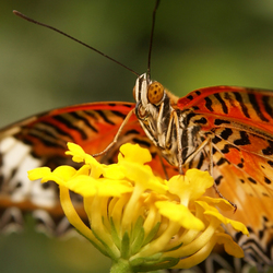 Close vlinder