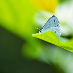 Het boomblauwtje