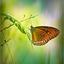de vlinder..............