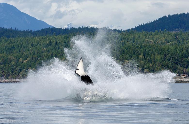 Orka Splash - Als je grote sprongen maakt, dan maak je ook grote bommetjes, getuige deze foto.<br /> Gemaakt in Canada vanuit een Zodiac.