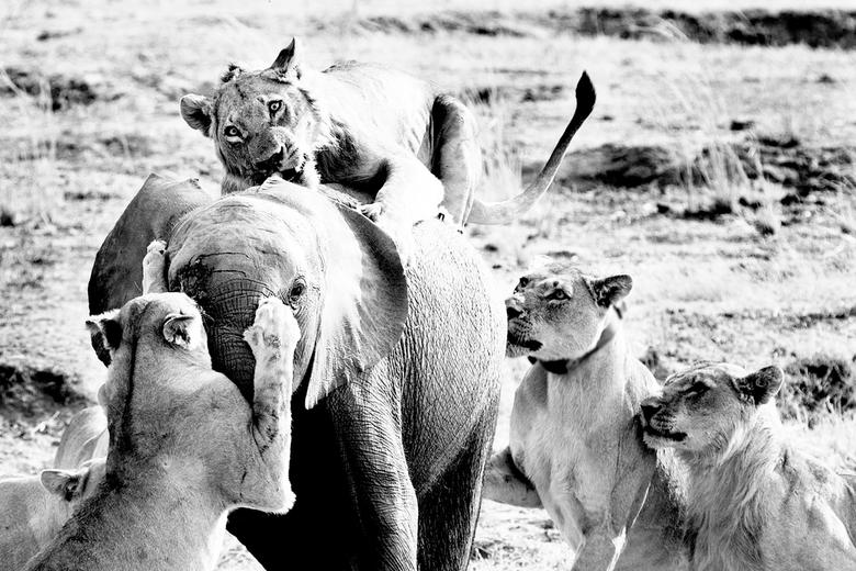 Afrikaans hapje  - Dit olifantje was helaas op het verkeerde moment op deze plaats toen dit groepje hongerige leeuwtjes hem probeerden te verslinden o