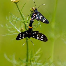 Phegea vlinder koppel