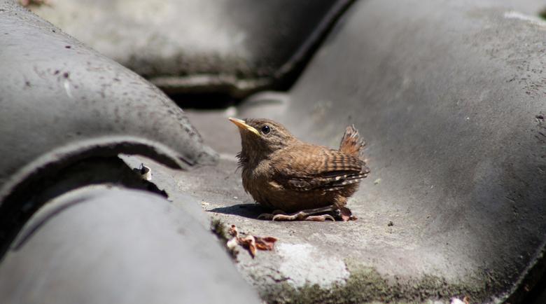 Winterkoninkje - Winterkoninkje baby op dag #1 uit het nest.
