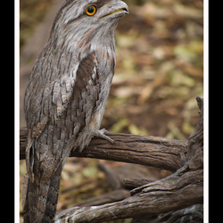 Papuan Frogmouth Owl
