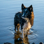 Bordercollie in the water