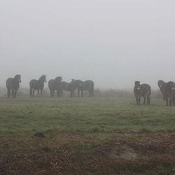 pony's in de mist