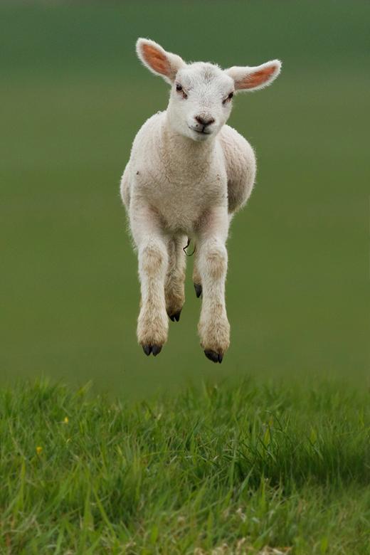"Springend Lammetje - Meer Zin &amp; Onzin over zwevende Lammetjes: <a href=""http://roeselien.wordpress.com/2012/04/07/72-levitating-lambs//"">Levitatin"