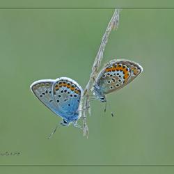 Heide Blauwtjes