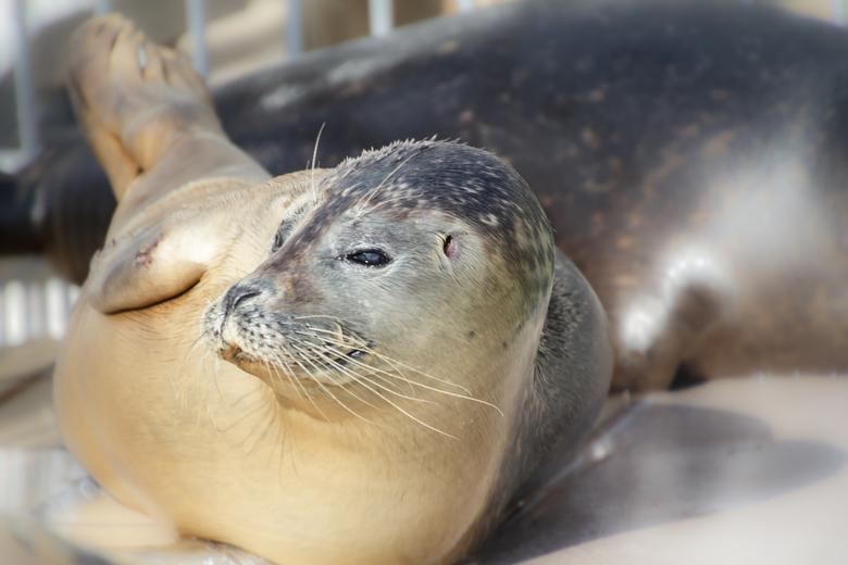 Banaan zeehond - Ook in het zeehonden opvangcentrum Pieterburen zie je  zeehonden vaak in een typische banaanhouding liggen. Dat doen ze waarschijnlij