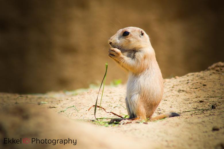 Eating on the prairie (dog) - Een prairiedog zit zijn voedsel met beide handen naar binnen te werken in Wildlands Adventure Zoo Emmen.