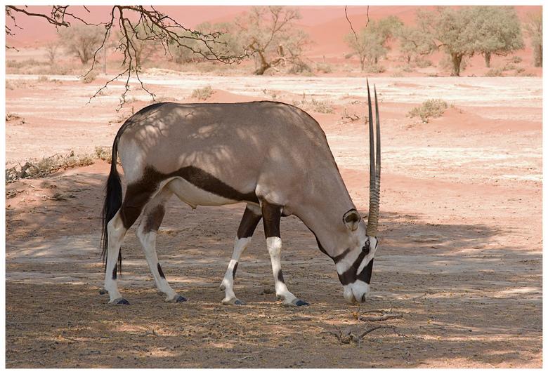 Spiesbok - Een spiesbok laat zich graag fotograferen. Het zijn prachtige dieren, lopen zeer elegant maar ze zijn wel levensgevaarlijk.