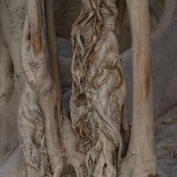 Wortel van Spaanse boom