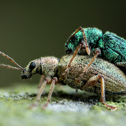 Snuitkevers