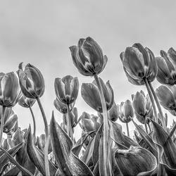 Tulpen Noord Oost Polder