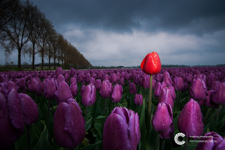 Boven het maaiveld durven uitsteken  - Gemaakt in de noordoostpolder (Flevoland) tijdens het rijden van de tulpenroute. Een regenachtige dag waardoor