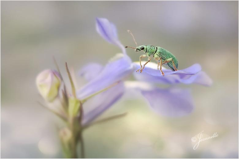 Kleine groene snuiter....... - <br /> Ook dit is een foto uit het &#039;zomers&#039; archief.<br /> <br /> Een snuitkevertje op lobelia.<br /> <br