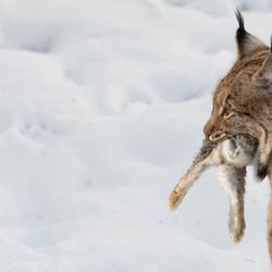 Lynx met prooi.