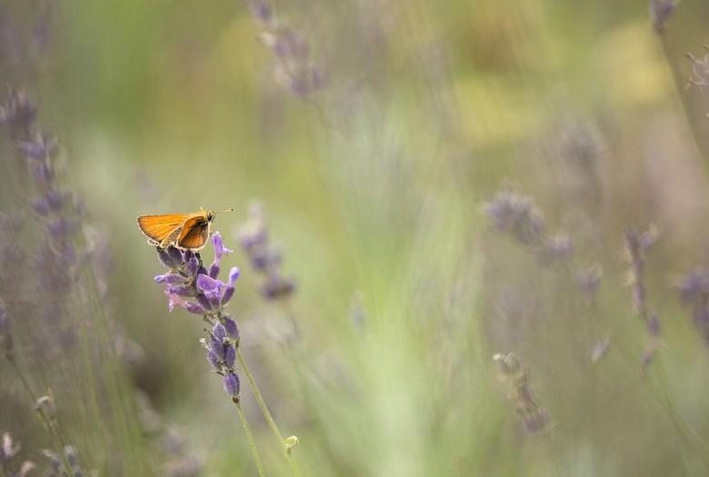 zoomdag 2 - dikkopje wou wel even poseren in de lavendel..<br /> en weer nagenieten van een fijne dag