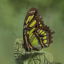 De malachietvlinder (Siproeta stelenes)