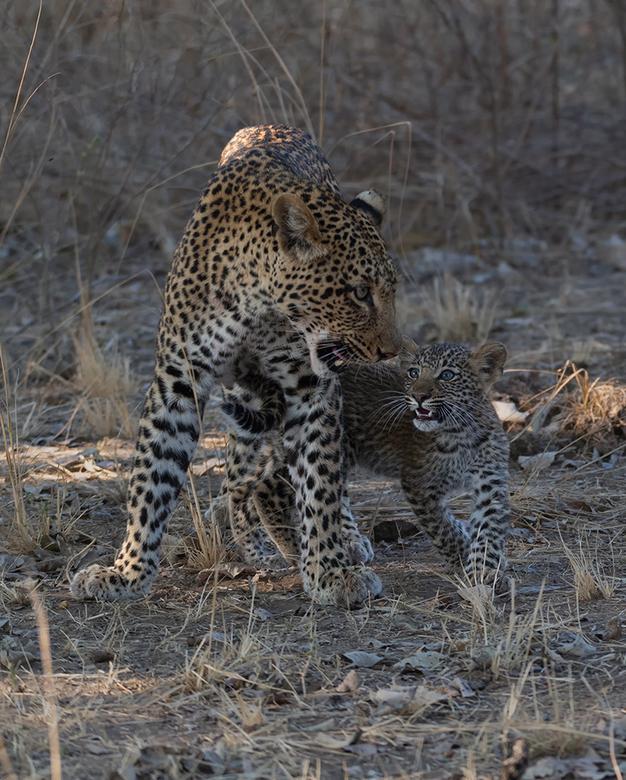 Luipaard ontmoeting met jong - Een geweldig ervaring was het moment dat het Luipaard jong z&#039;n moeder benaderde. <br /> <br /> South Luangwa, Za