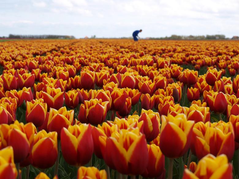Tulpen - Geen omschrijving.