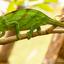Groene kameleon op Madagaskar