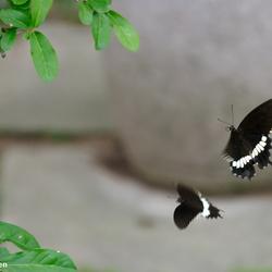 Dansende vlinders