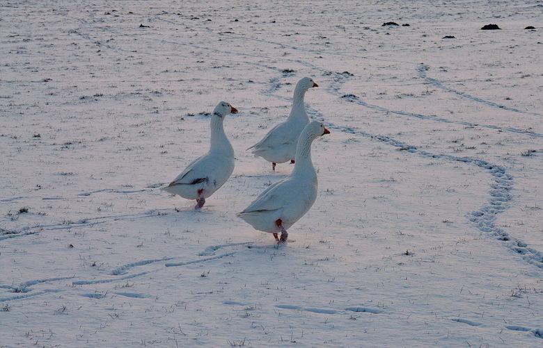 Vogel serie 275. - 11 februari 2010. Toen hadden we zo af en toe nog een beetje winter.<br /> <br /> Groetjes Bob.