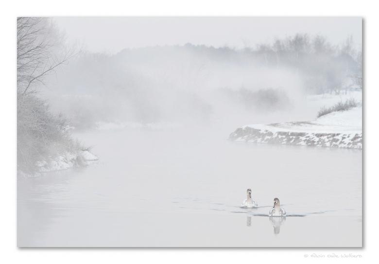 Swans in the Mist - IJskoude ochtend in het AWD...maar de moeite van bevroren tenen meer dan waard naar mijn bescheiden mening. Heerlijk ochtendje...