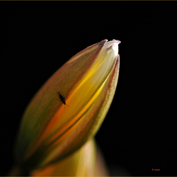 Klein tulpje....