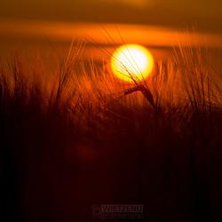 Graan in het laatste zonlicht