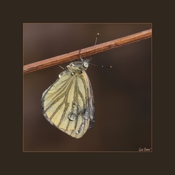 Cold Rain Butterfly*