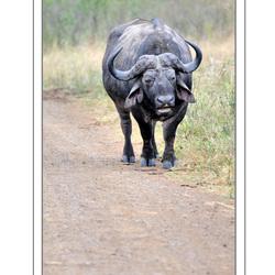Zuid Afrikaanse Buffel
