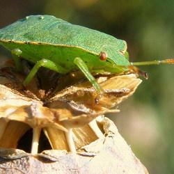 groene wants overwint papaverbol
