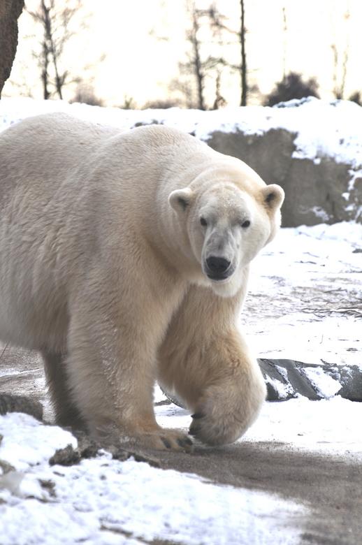 IJsberende ijsbeer -